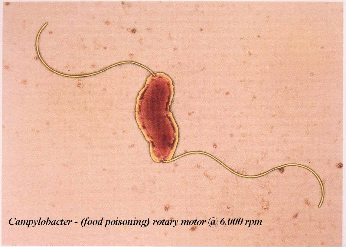 Archaebacteria thermoacidophiles